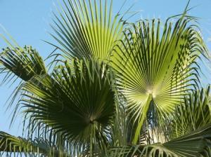 Palma Sabal - preparat na prostatę