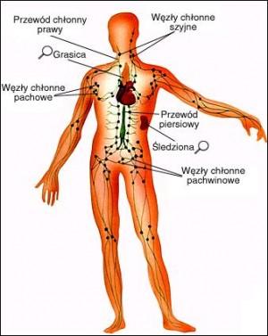 Układ limfatyczny i jego działanie