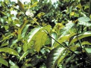 Vilcacora w medycynie andyjskiej