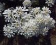 Iberis Amara – niepozorna roślina łagodząca ból brzucha