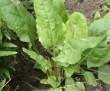 Szczaw - niedoceniona roślina
